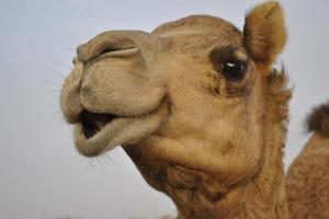 Camel_closeup